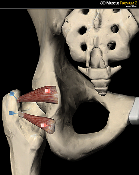 Superior Inferior gemellus lateral rotator hip gluteal