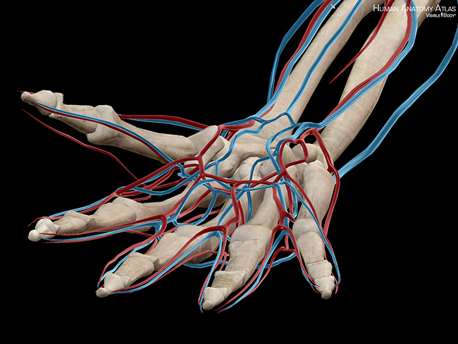 Blood arteries veins hand ankle surgically attached