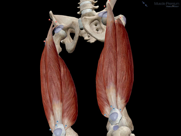 Quadriceps Muscle Muscle Group Quadriceps