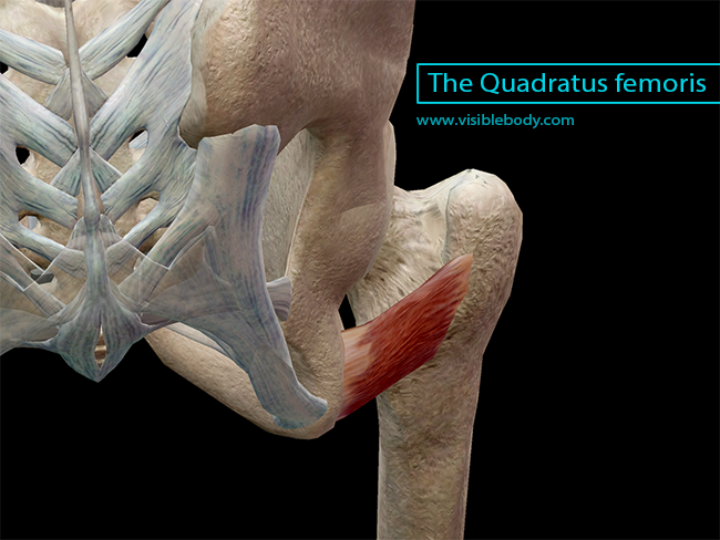 The Quadratus femoris