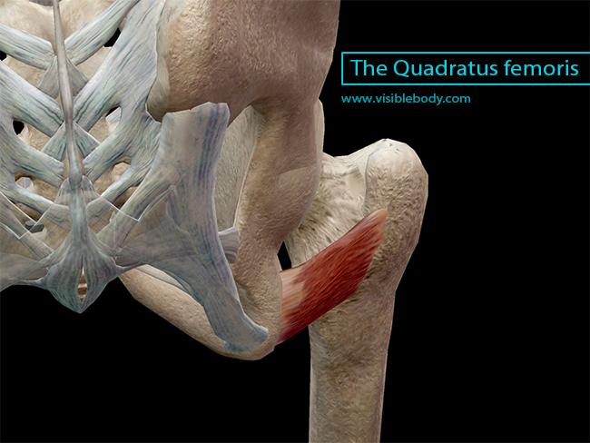 quadratus femoris cadaver - photo #2