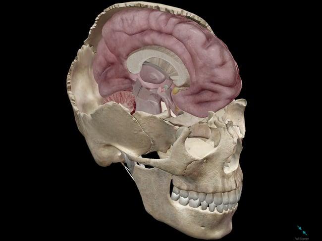 brain-memory-skull-cerebrum.png
