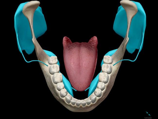 saliva-salivary-glands-mouth-tongue.png