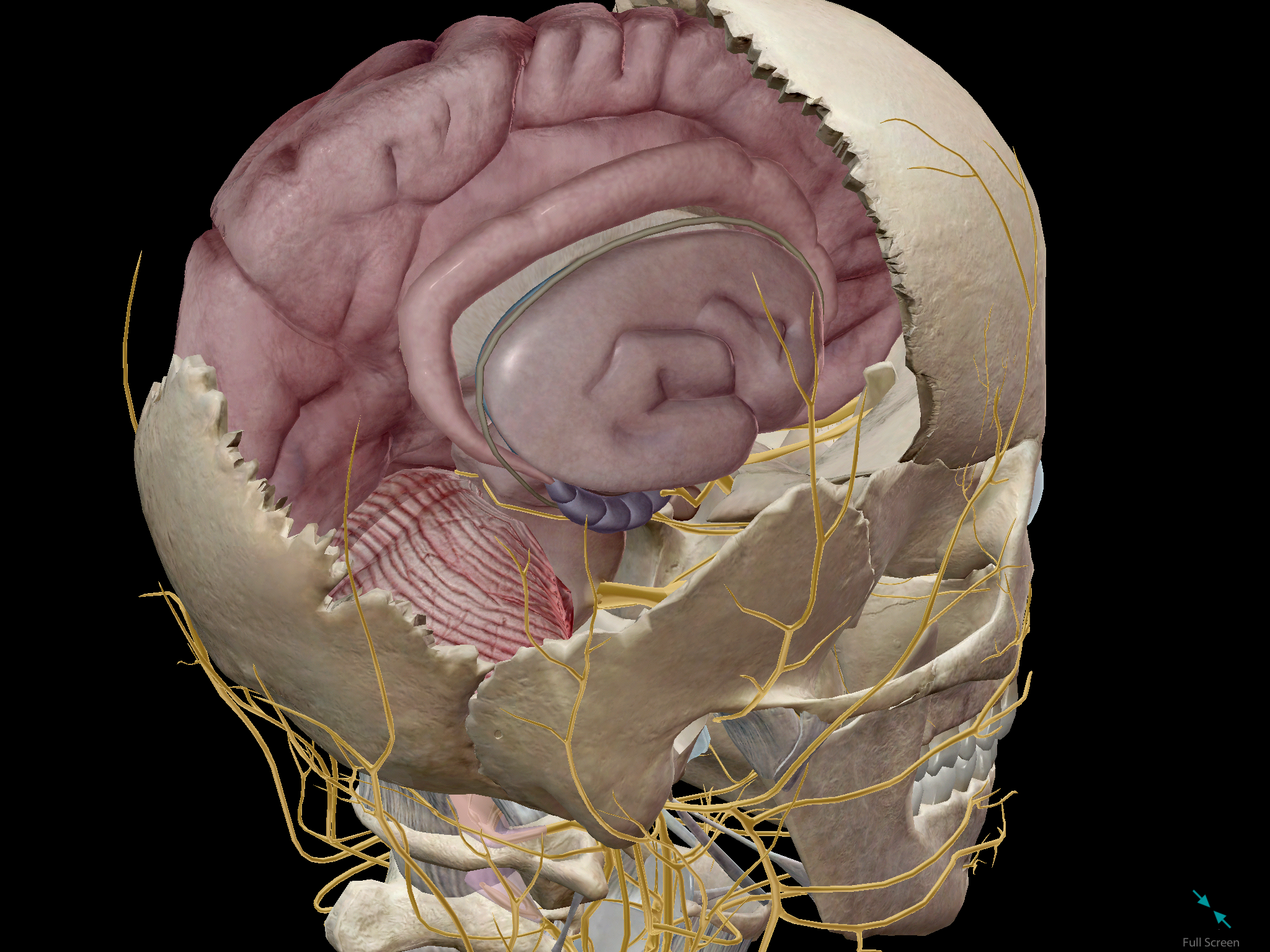 Cross-section of the human brain within the context of the skull