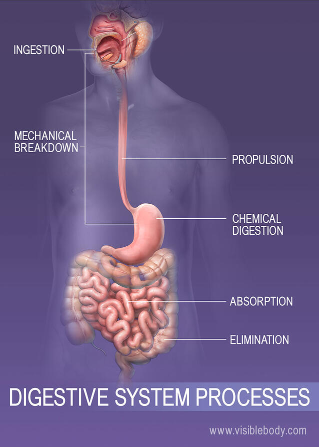 Dont Believe The Lies About Digestive System Facts