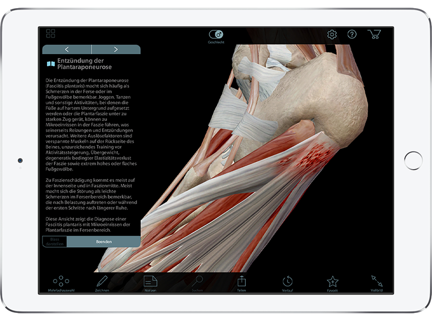 Muscle Premium showing view of muscles and tendons of the foot in 3D