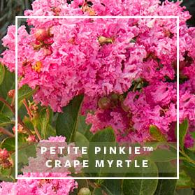 279x279_Craftsman_Petite Pinkie Crape Myrtle