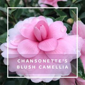 CHANSONETTE'S