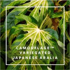 Camouflage Variegated Japanese Aralia