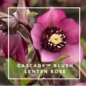 Cascade Blush Lenten Rose