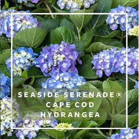 Seaside Serenade Cape Code Hydrangea