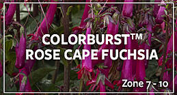 colorburstfuchsia2