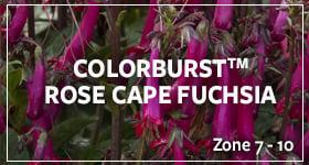 colorburstfuchsia2