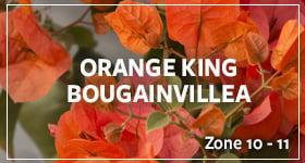 orange-king