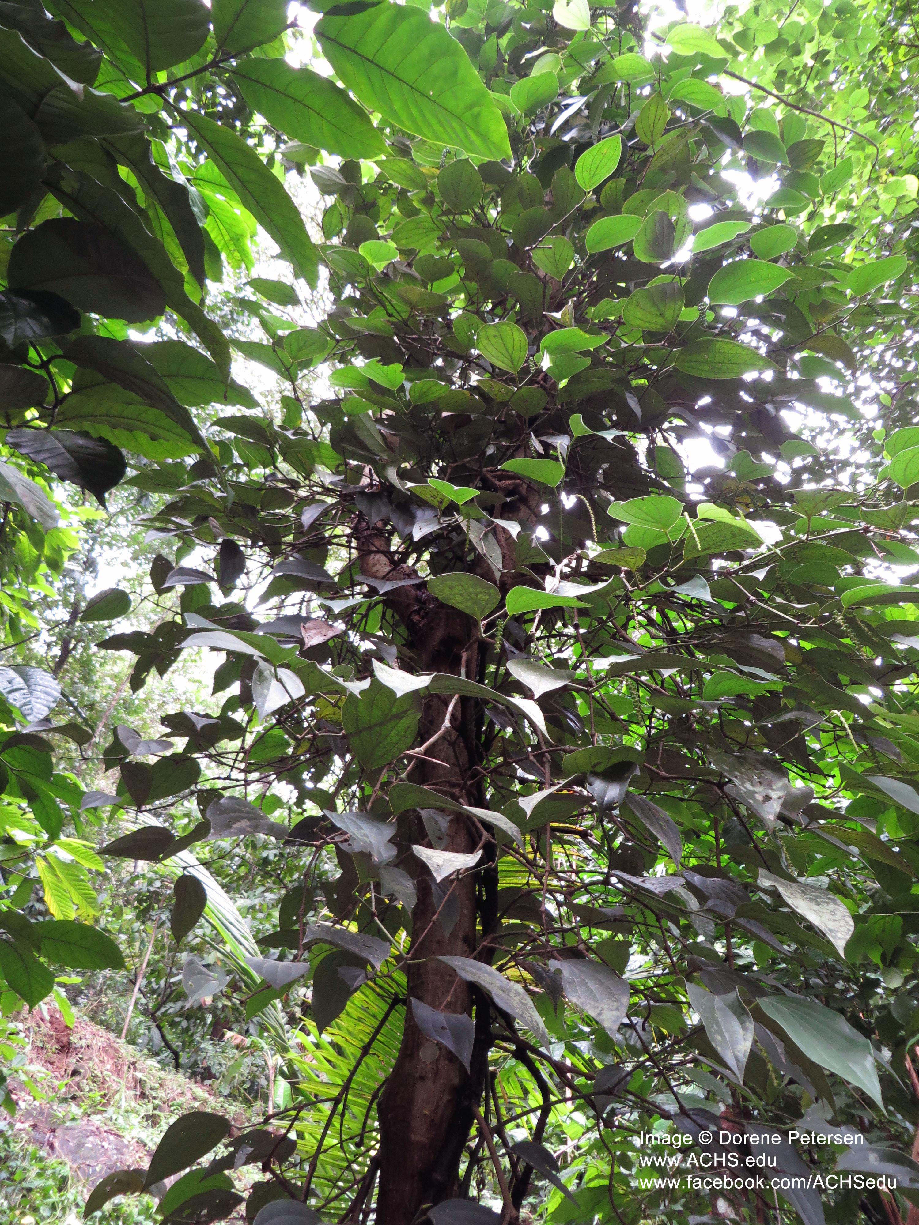 Black Pepper Oil in Southern India | achs edu