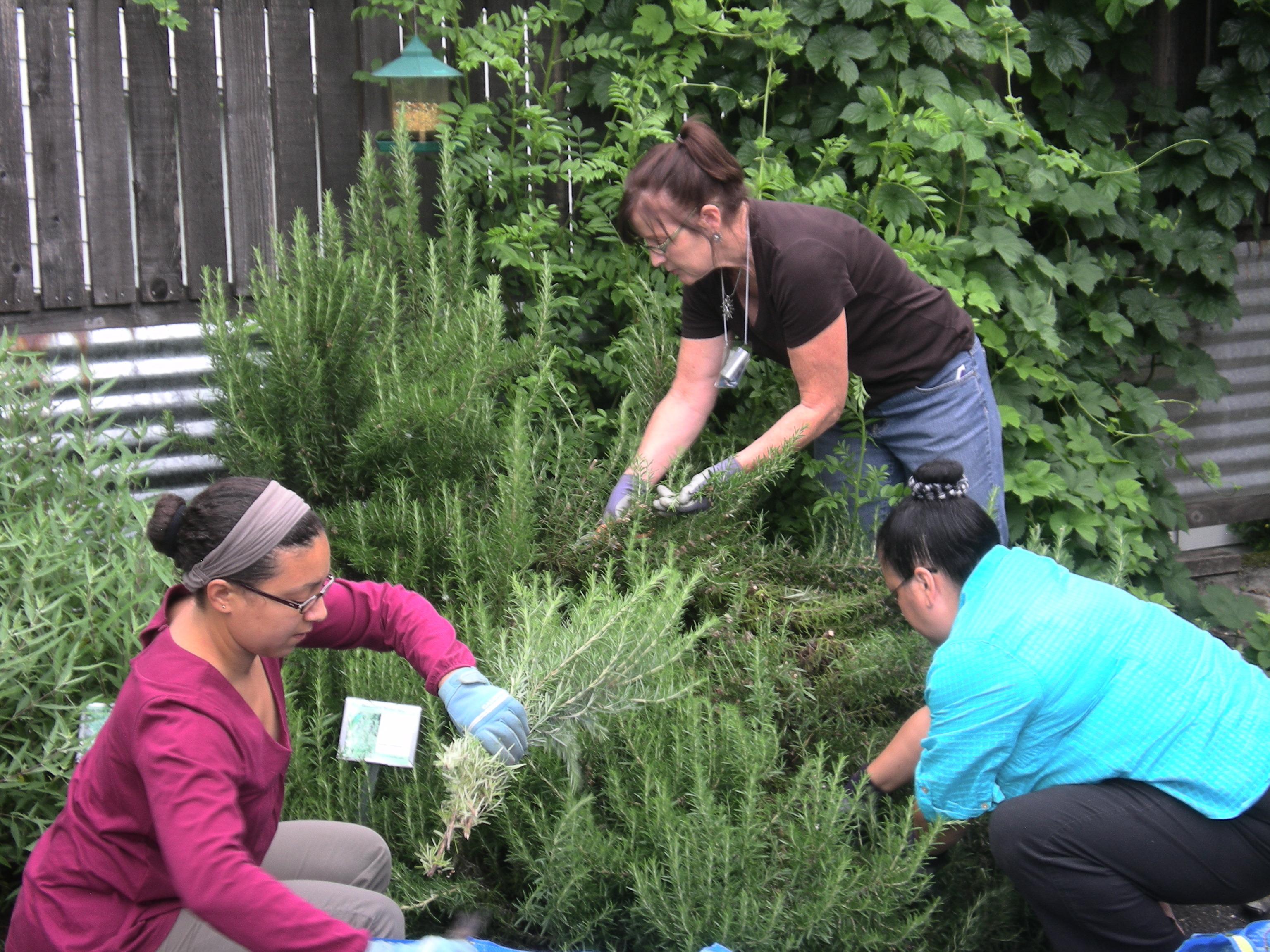 Harvesting Rosemary at ACHS