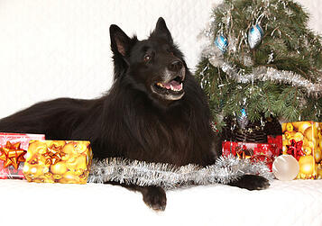 photodune-6335643-amazing-groenendeal-dog-with-christmas-decorations-xs