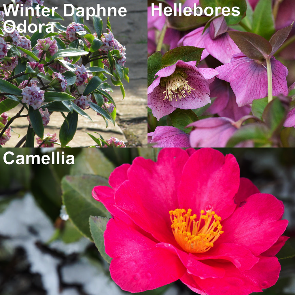 More winter blooming flowers - Daphne, Camellia and Hellebore
