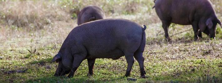 Iberico Schwein (Fotolia, © DAVID)