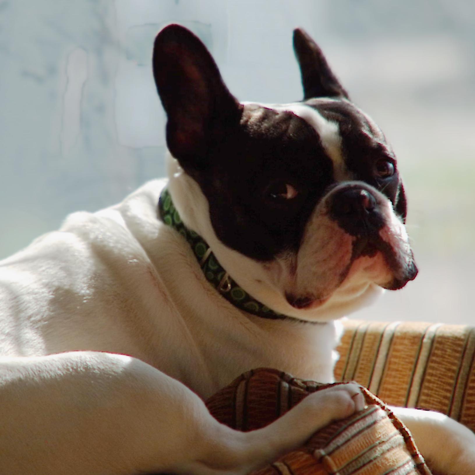bandit-office-dog