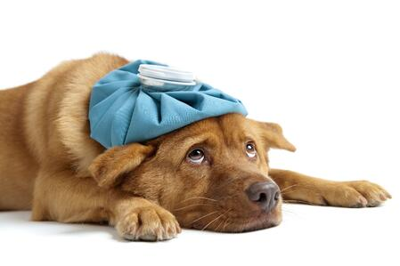 Natural remedies for dog colds symptoms