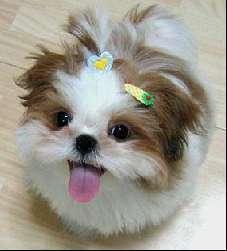 cachorro-shitzu-10