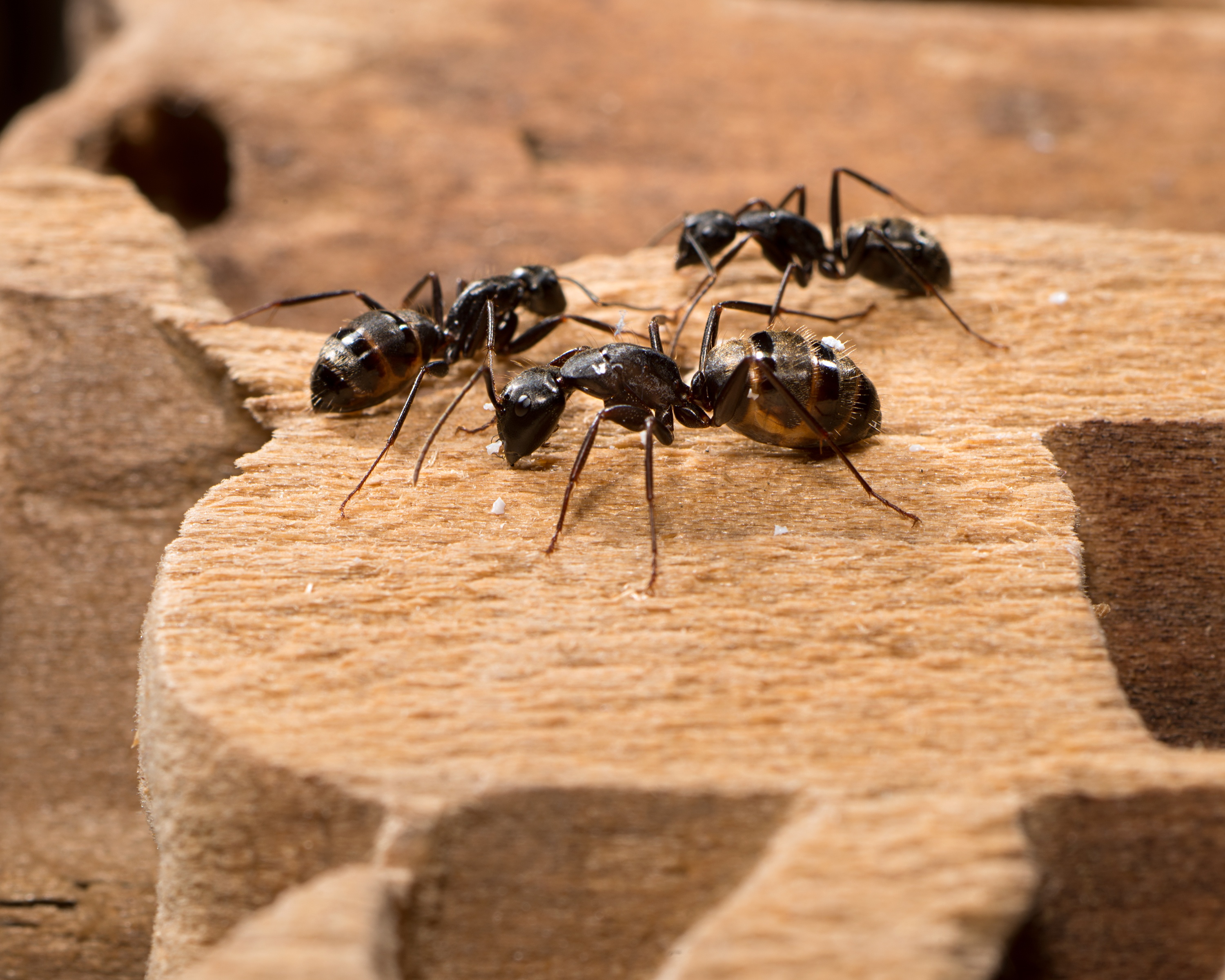 06_Carpenter Ants.jpg
