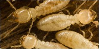 termites-nj-pa