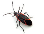 Remove Boxelder Bugs in PA and NJ