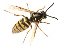 Prevent and Remove Wasps in NJ and PA with Cooper Pest Solutions.