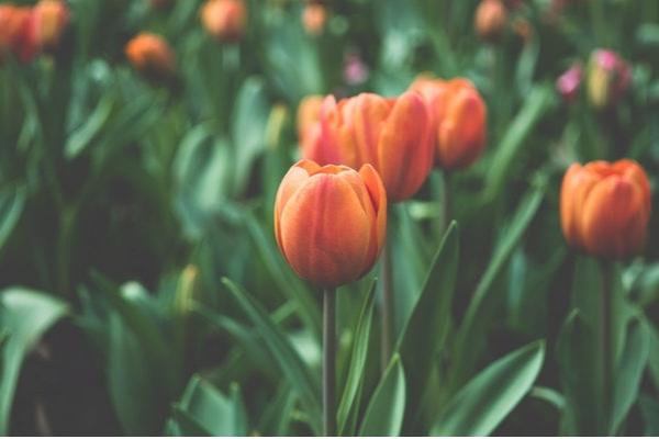 tulip newsletter image