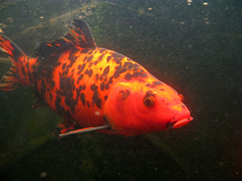 The gallery for real butterfly koi fish for Koi fish photos
