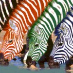 Striped colored zebras
