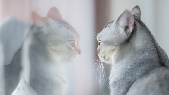 Cat Looking At Reflection