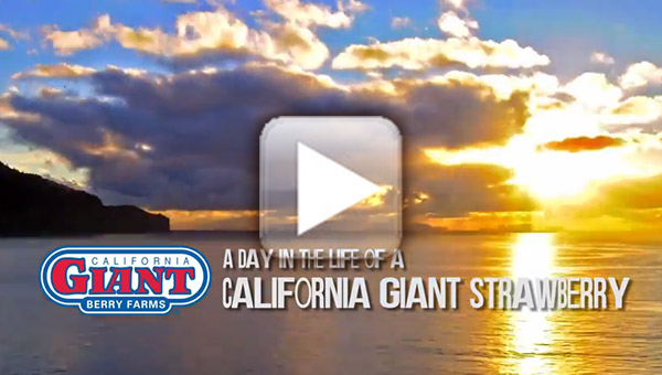 A Day in the Life of a California Giant Strawberry video