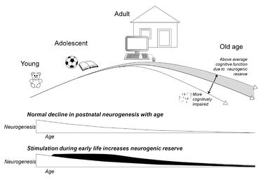 Early-life stimulation increases neurogenesis, leading to a reserve pool of cells that can persist into old age and contribute to conserved cognitive function
