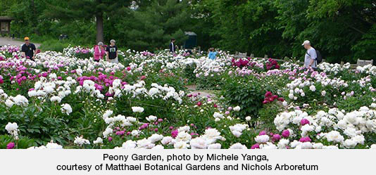 Peony Garden, photo by Michele Yanga, courtesy of Matthaei Botanical Gardens and Nichols Arboretum