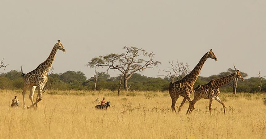 Hwange_Horse Riding Safari _ Giraffes running