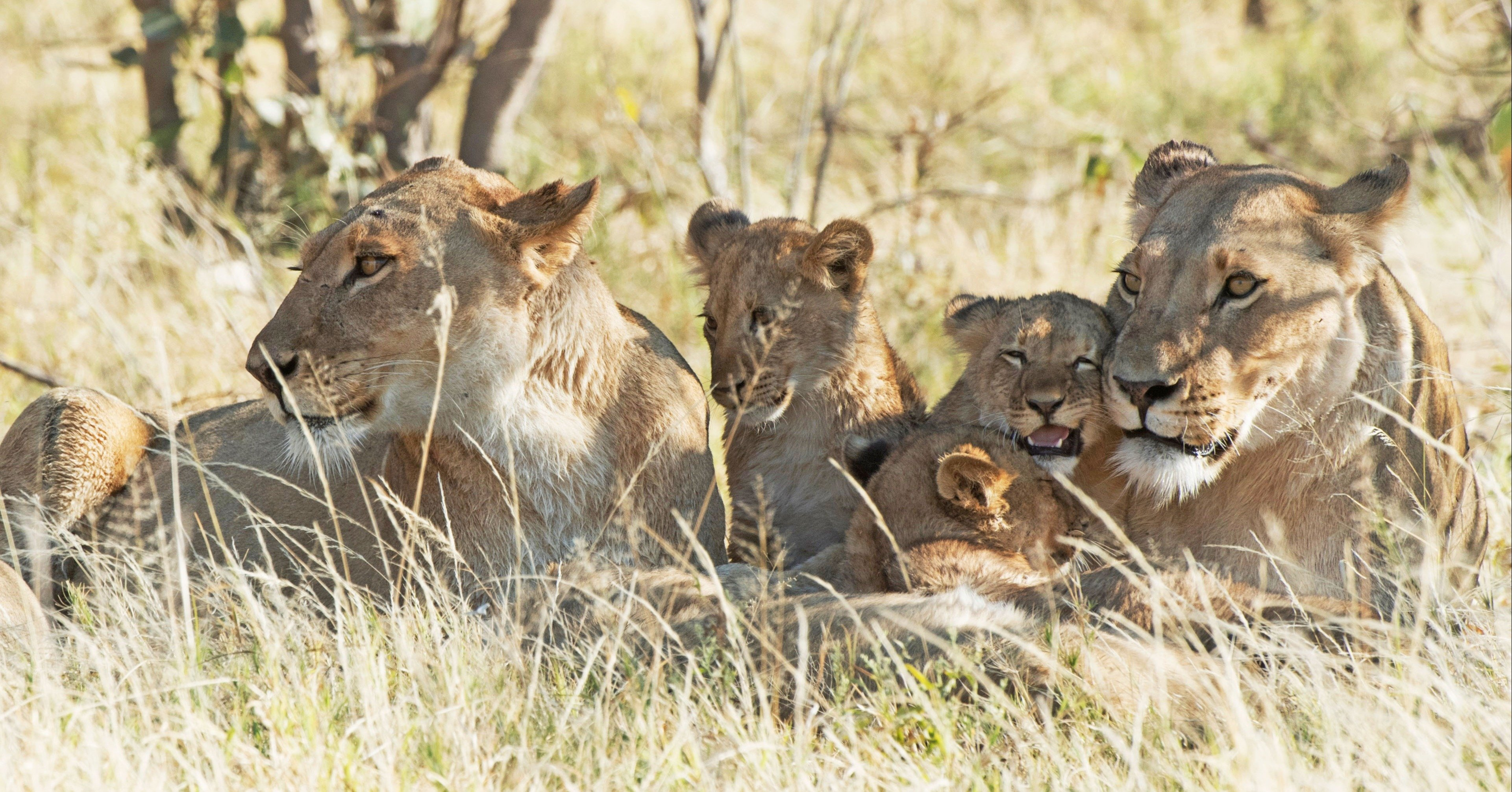 Khwai Tented Camp, Moremi Game Reserve, Botswana, lioness and baby lions_5SW1712 (176)-1