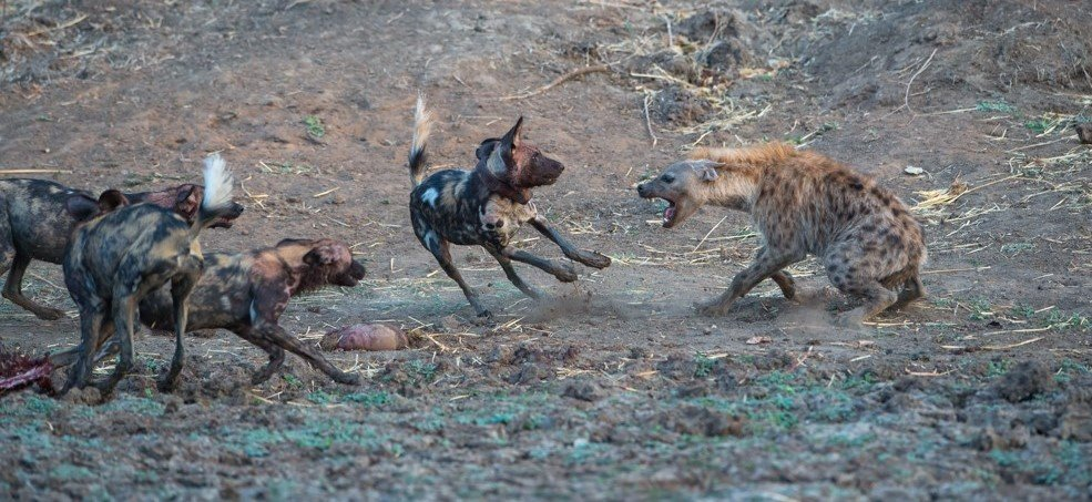 wild dogs mana pools national park Nick Dyer