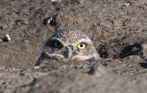 burrowing owl - eileen johnson photography