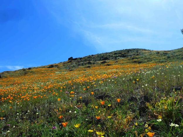 Rancho Canada del Oro - Blair Ranch - Wildflowers - CD - 05-01-2014.jpg