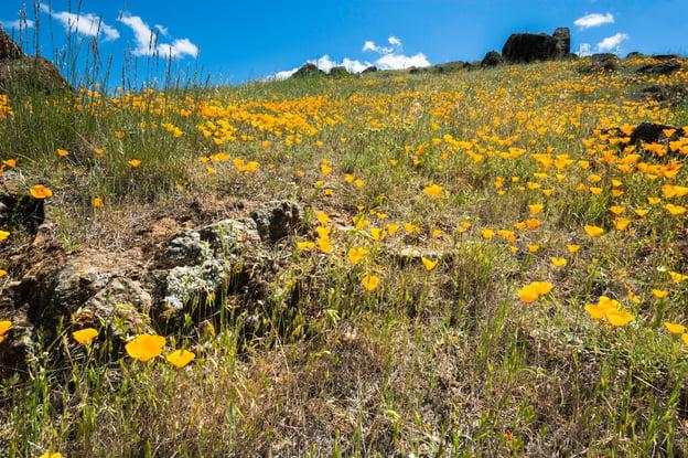 coyote-valley-wildflowers-poppies.jpg