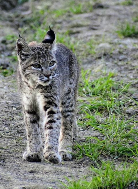 Bobcat 2_Quicksilver_VanessaCairns