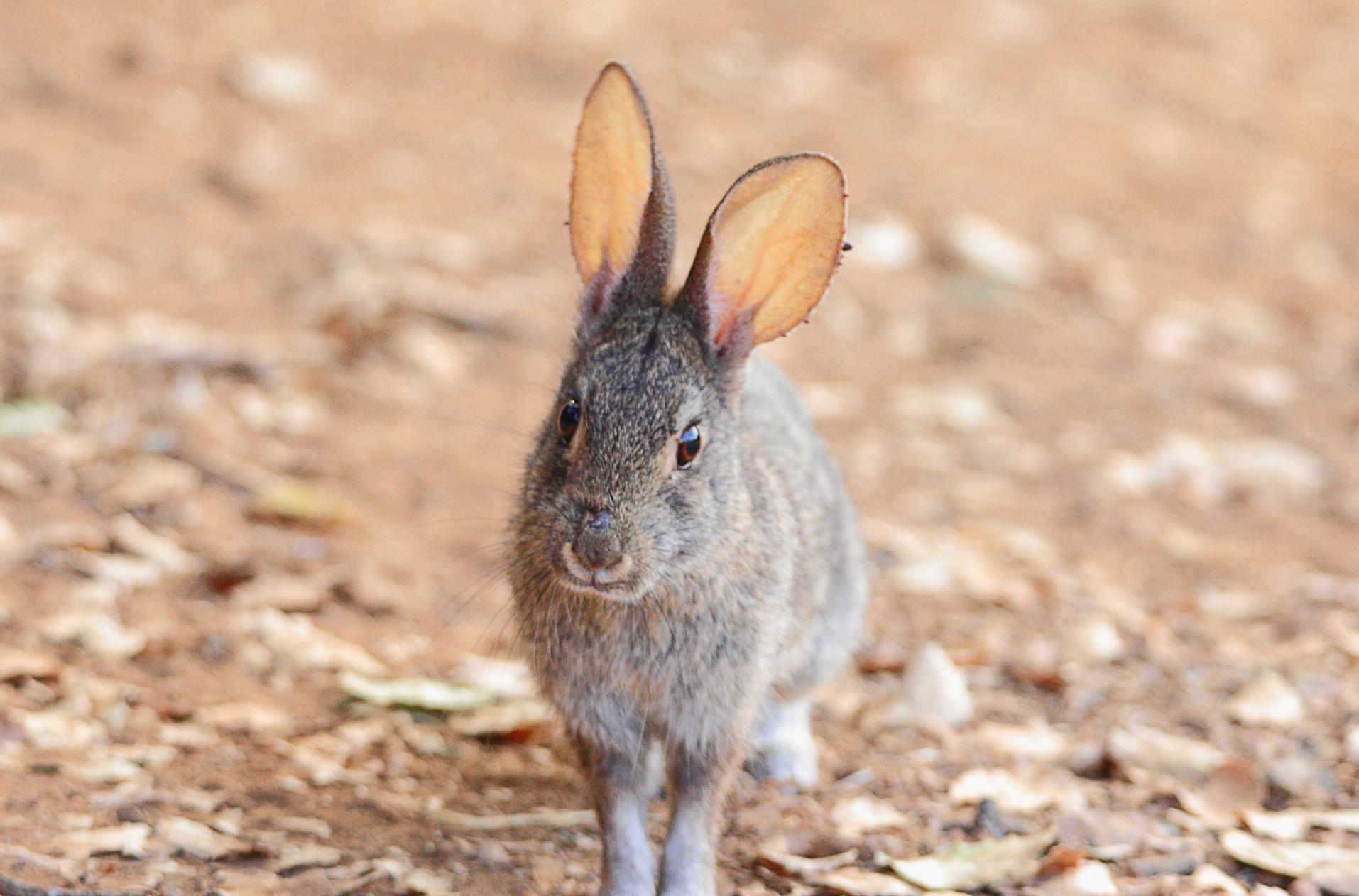 CVAL - Cotontail Rabbit (happy Bun!) - D.Mauk - Jul-29-2018 -