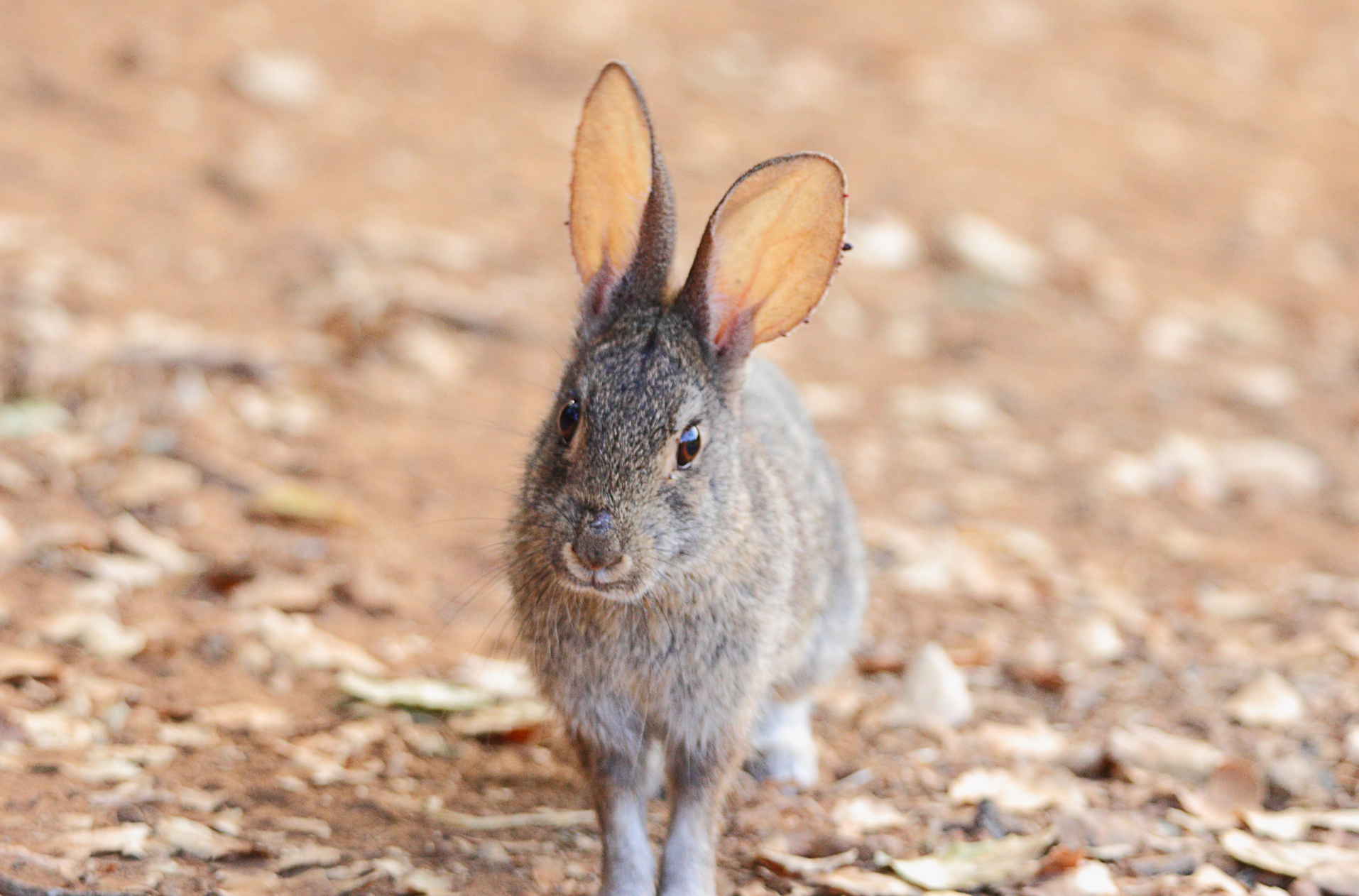 CVAL - Cotontail Rabbit (happy Bun!) - D.Mauk - Jul-29-2018 -