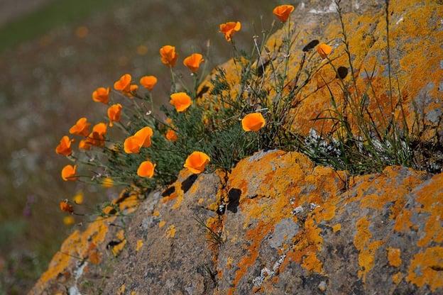 Coyote Ridge - Poppies - MR - 06-22-2015 - 5.jpg