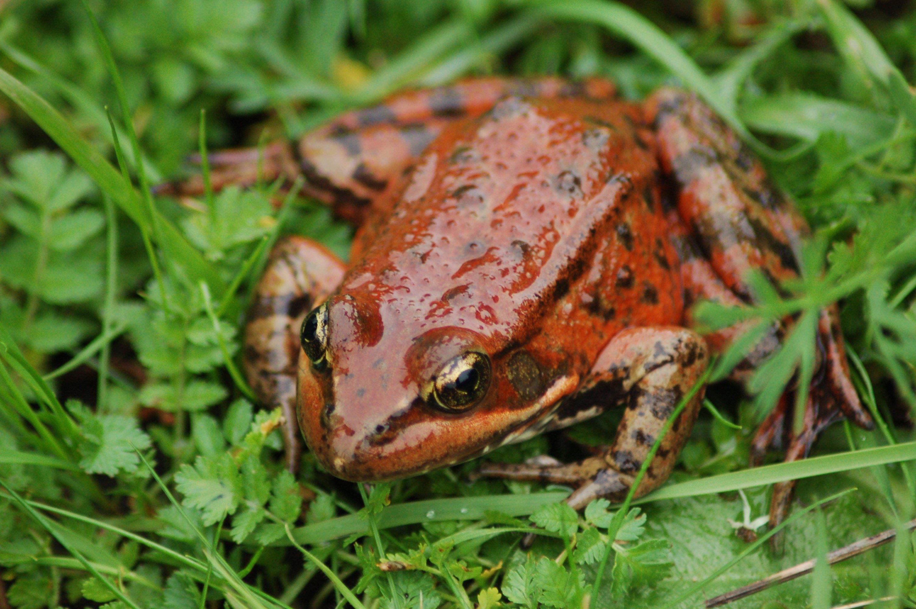 Rana-Draytonii-California-Red-legged-Frog