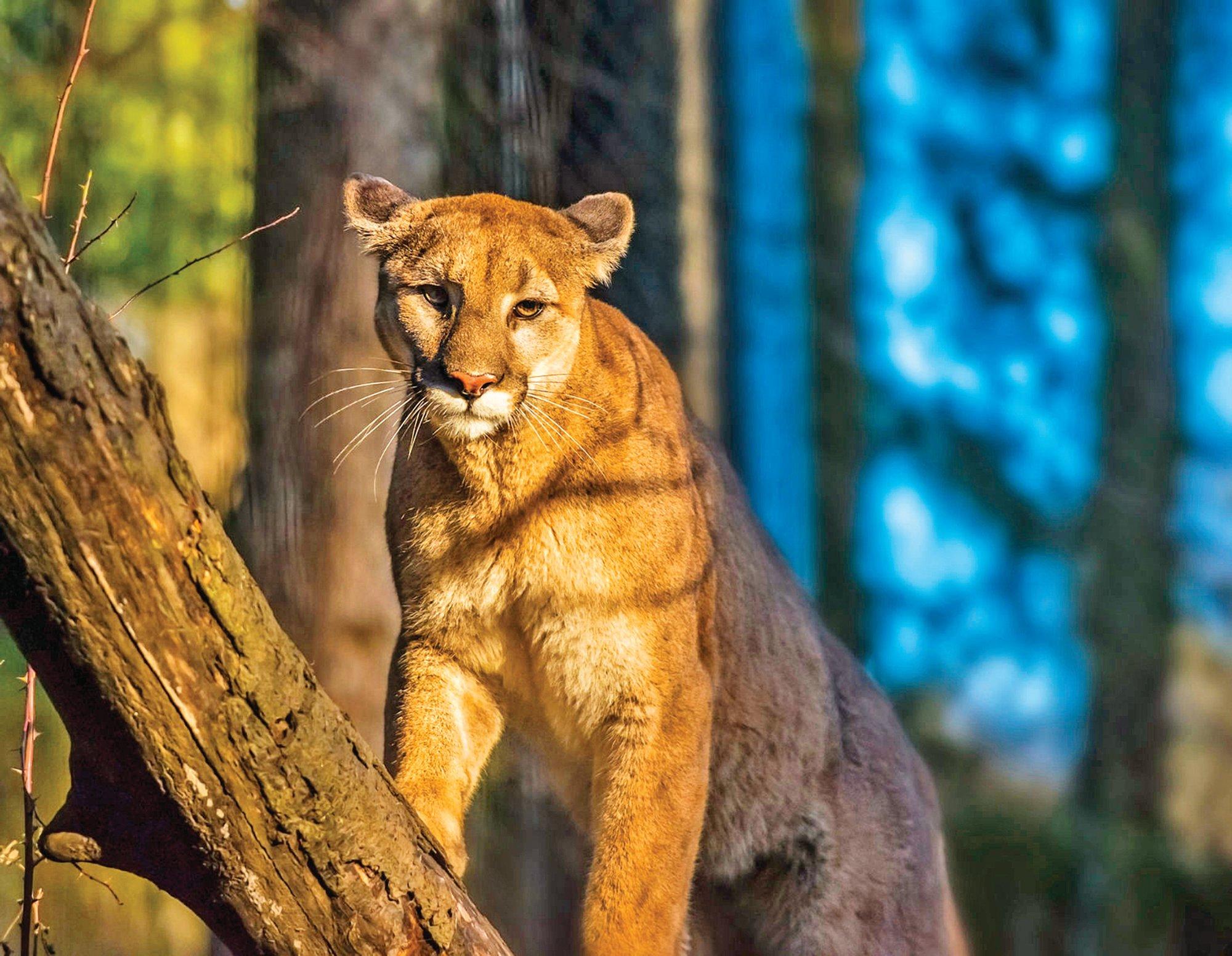 SV Mountain Lion in sunlight