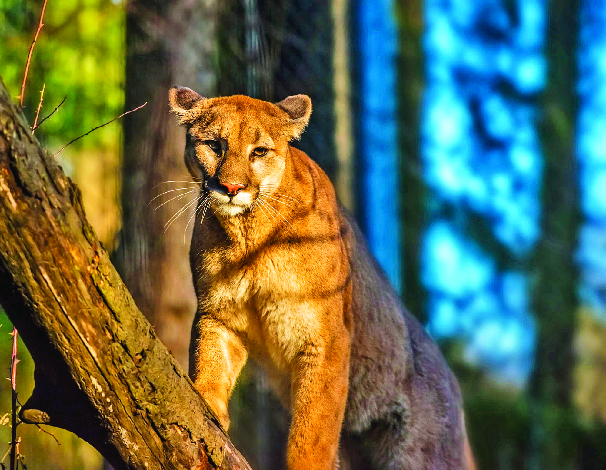 SV Mountain Lion in sunlight